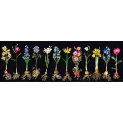 Fleurs  en  bulbes  1087.05  Aïda  noir  Thea Gouverneur