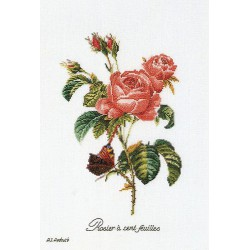 Rose  Redouté  2030A  Aïda  Thea Gouverneur